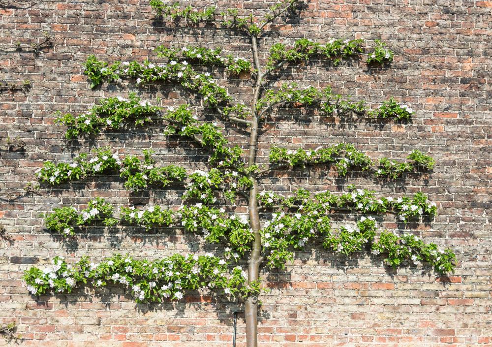 arbre espalier