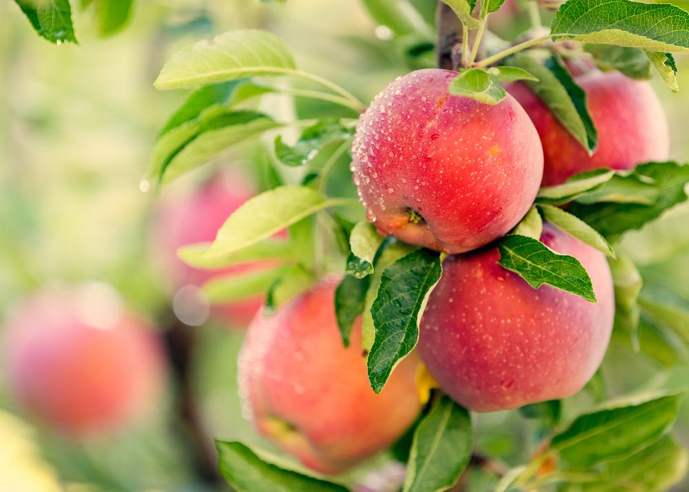 arbres fruitiers Alsace