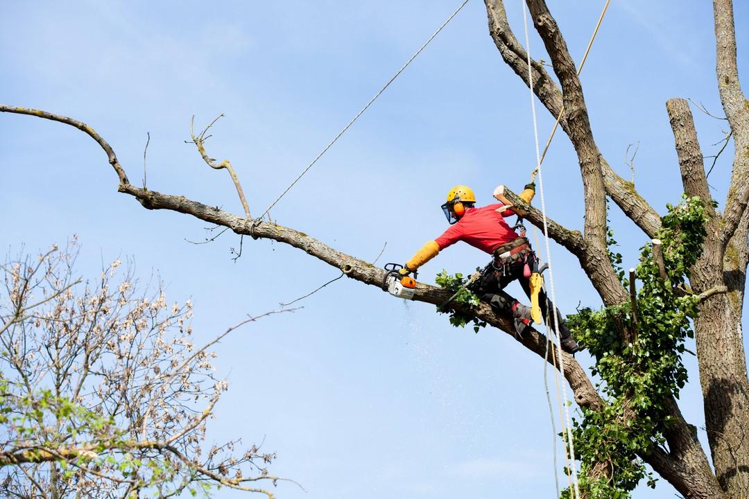 L'élagage des arbres